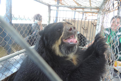 Volunteers can look after endangered animals abroad such as spectacled bears in Peru
