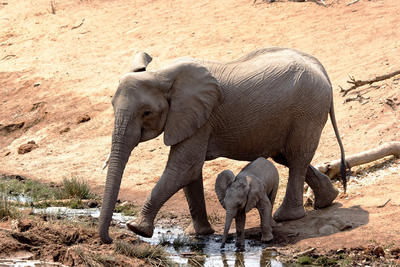 Volunteer with elephants to see these land giants thrive in their natural environments