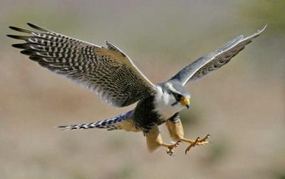 A wild falcon spotted at an Animal Care and Veterinary Medicine Project in Latin America.