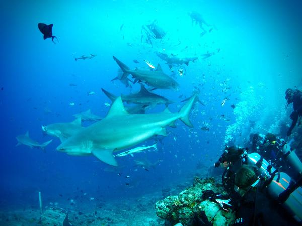 Volunteers on the Shark Conservation project observe sharks underwater in Fiji