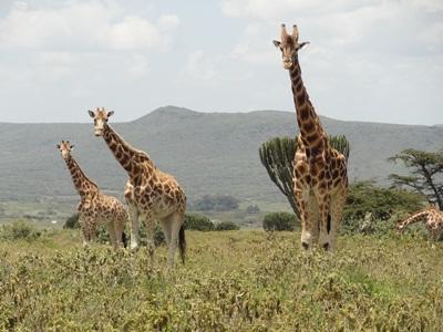 Volunteers observe giraffes on the African Savannah conservation in Kenya