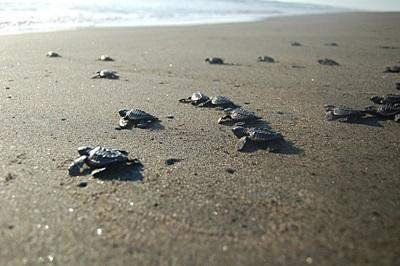 Turtles on the beach on the Conservation project in Mexico