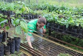 A volunteer on the Galapagos Island Conservation Project in Ecuador helps maintain a nursery.
