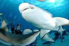 On the Fiji Shark Conservation Project, a school of sharks are spotted.