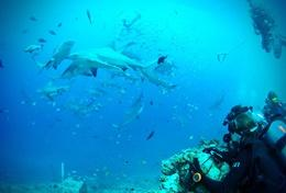 Volunteers on the Grown Up Shark Conservation Special in Fiji observe sharks during a dive.