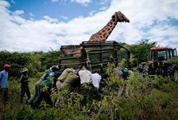 High School Special Conservation volunteers in Kenya help transport a giraffe.