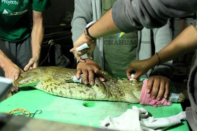 A professional veterinarian treats a crocodile in Peru, with the help of Projects Abroad interns.