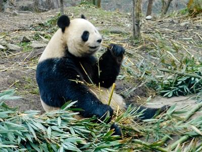 Volunteers work to project pandas in the wild in China with Projects Abroad