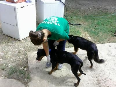 Projects Abroad Animal Care volunteer works with dogs at a rescue center in Jamaica.