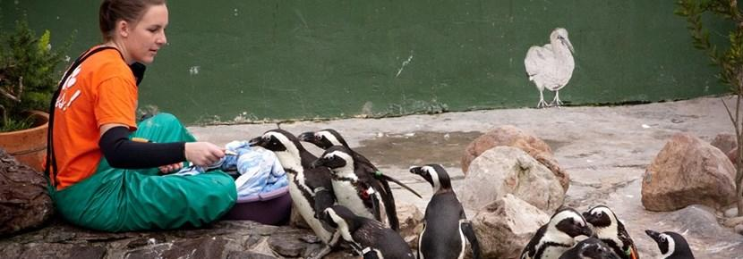 Volunteer treats penguins in an animal center overseas