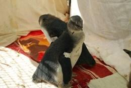 Volunteers help penguins recover from an oil spill in South Africa.