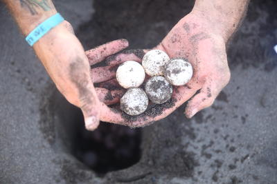Collecting eggs is an important activity while volunteering with sea turtles in Mexico