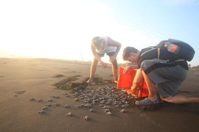 Releasing hatchlings into the ocean is a highlight while you volunteer with sea turtles